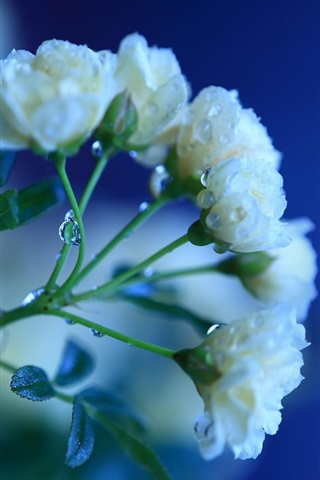 iPhone Wallpaper White rose flowers, dew