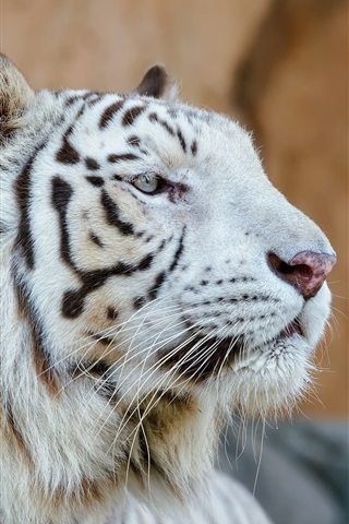 iPhone Wallpaper White tiger, head, face, predator