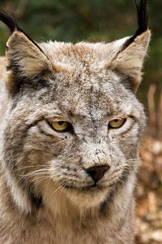 iPhone Wallpaper Wild cat, face, yellow eyes, look, lynx