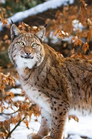 iPhone Wallpaper Wild cat, lynx, snow, winter