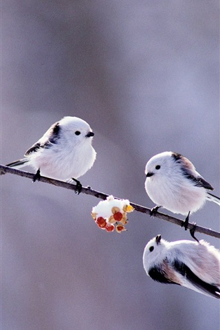 iPhone Wallpaper Winter birds, white feathers, twigs, snow, berries