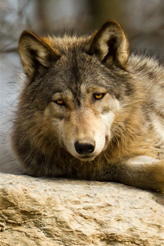 iPhone Wallpaper Wolf rest, predator, stone