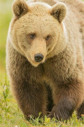 iPhone Wallpaper Brown bear walk in grass