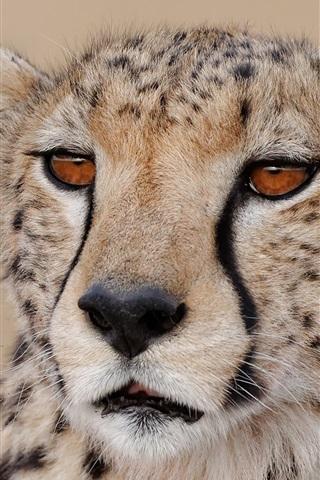 iPhone Wallpaper Cheetah close-up, face, predator