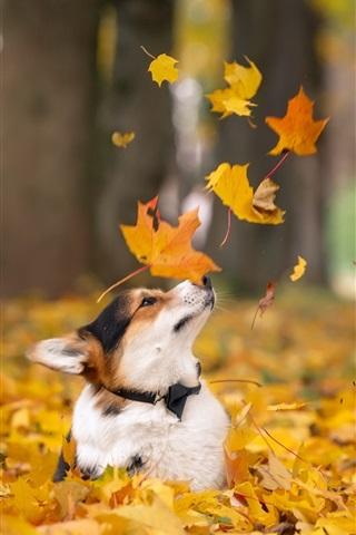 iPhone Wallpaper Corgi in autumn, dog, yellow maple leaves