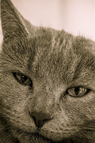 iPhone Wallpaper Cute gray cat front view, face