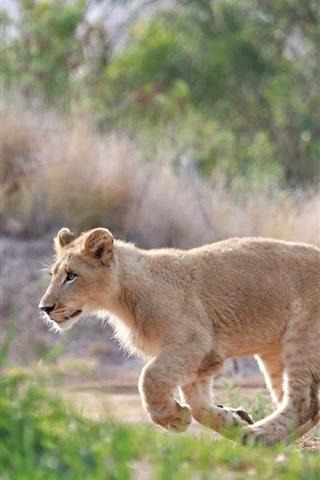 iPhone Wallpaper Cute lion cub walk