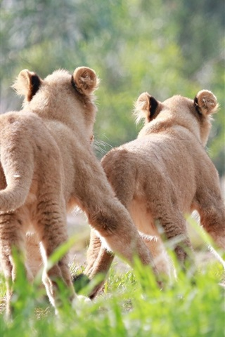 iPhone Wallpaper Cute lion cubs running and chase