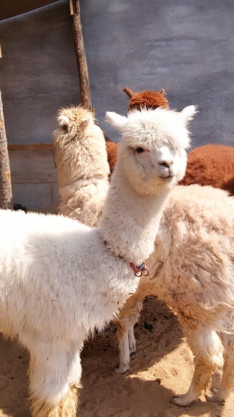 Cute White Alpaca 750x1334 Iphone 8766s Wallpaper