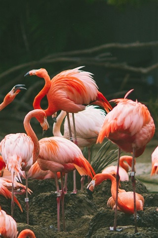 iPhone Wallpaper Flamingo photography, birds
