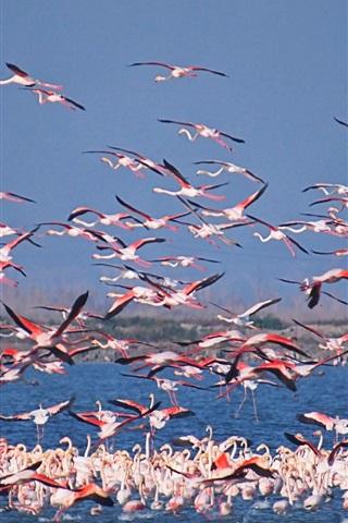 iPhone Wallpaper Flamingo world, birds, lake