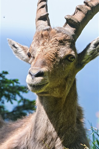 iPhone Wallpaper Goat, alpine, grass