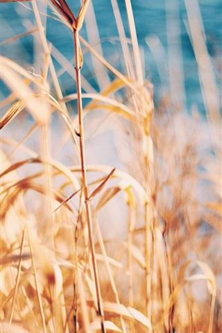 iPhone Wallpaper Grass, reed, summer