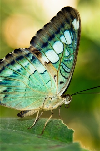 iPhone Wallpaper Green or blue wings butterfly, leaf, insect
