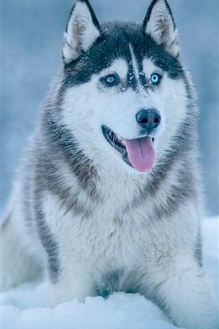 iPhone Wallpaper Husky dog in snow, winter