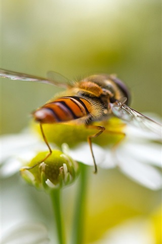 iPhone Wallpaper Insect macro photography, bee, flowers