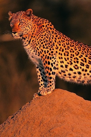 iPhone Wallpaper Leopard at sunset