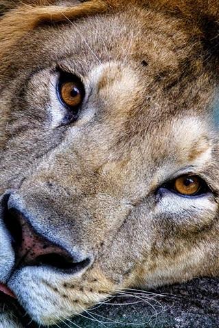 iPhone Wallpaper Lion face, look, rest, predator