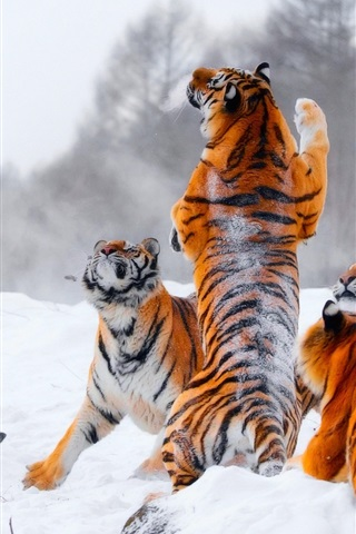 iPhone Wallpaper Many tigers, playful, snow, winter