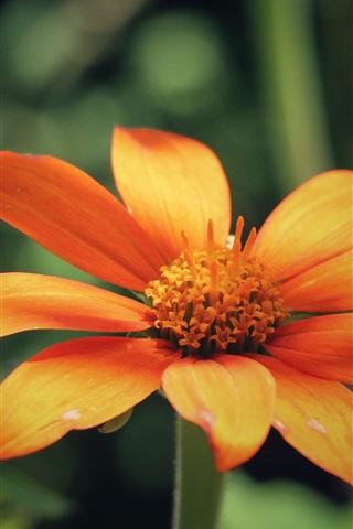 iPhone Wallpaper Orange flower petals, blur background