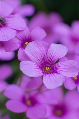 iPhone Wallpaper Oxalis purple flowers close-up