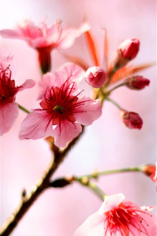 iPhone Wallpaper Pink cherry flowers bloom in the spring