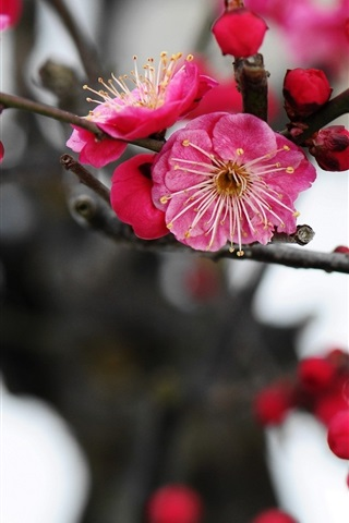 iPhone Wallpaper Pink plum flowers blossom