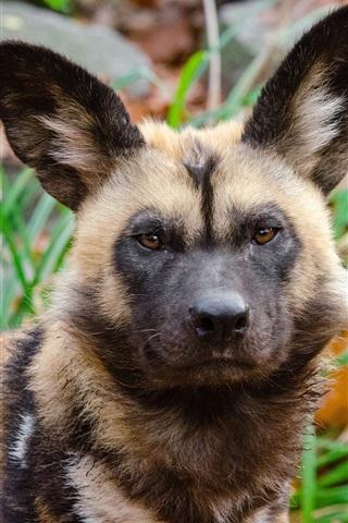iPhone Wallpaper Predator, african wild dog