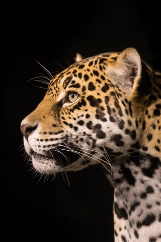 iPhone Wallpaper Predator jaguar, black background