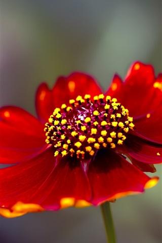 iPhone Wallpaper Red flower petals close-up, stamens