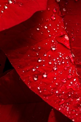 iPhone Wallpaper Red leaves, water droplets
