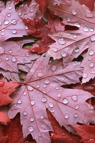 iPhone Wallpaper Red maple leaves, autumn, water droplets