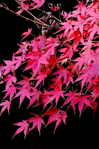 iPhone Wallpaper Red maple leaves, black background, autumn