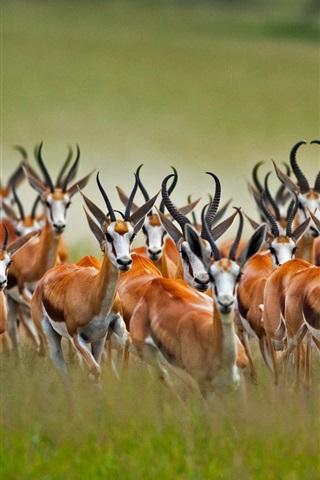iPhone Wallpaper Springbok herd, wildlife photography