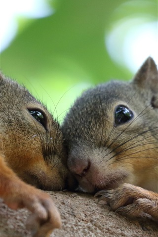 iPhone Wallpaper Two squirrels
