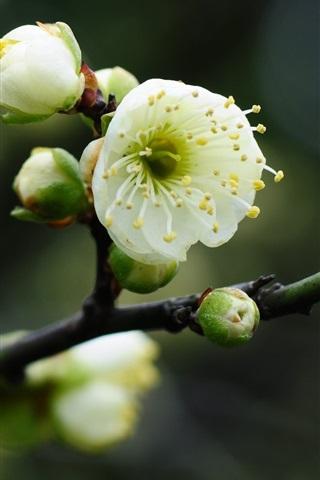 iPhone Wallpaper White plum flowers, twigs