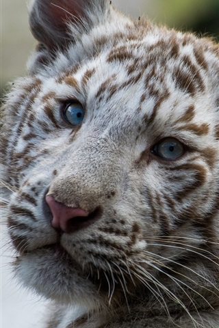 iPhone Wallpaper White tiger cub look back