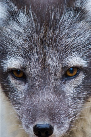 iPhone Wallpaper Wolf cub front view