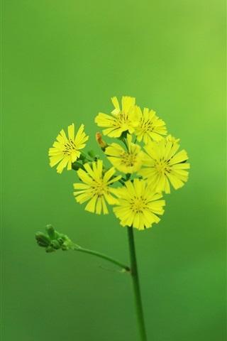 iPhone Wallpaper Yellow little flowers, inflorescence, stem, green background