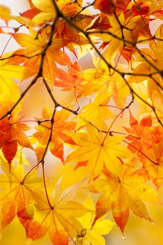 iPhone Wallpaper Yellow maple leaves, twigs, tree, autumn