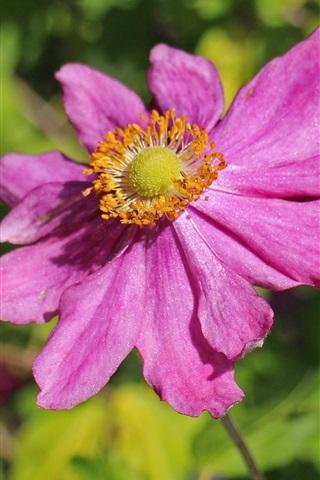 iPhone Wallpaper Anemone, pink flower petals