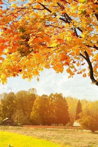 iPhone Wallpaper Autumn, yellow maple leaves, trees, fields