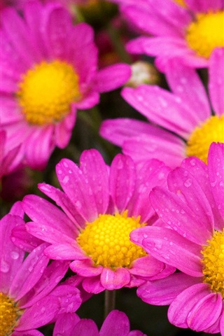 iPhone Wallpaper Beautiful pink flowers, petals, water drops