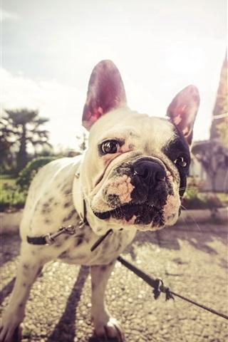 iPhone Wallpaper Bulldog look at you