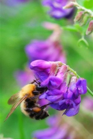 iPhone Wallpaper Bumblebee, purple flowers, green leaves