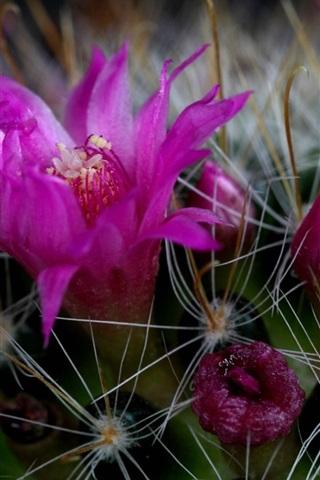 iPhone Wallpaper Cactus pink flowers macro photography