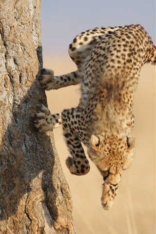 iPhone Wallpaper Cheetah jump down from tree