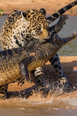 iPhone Wallpaper Crocodile and jaguar hunting