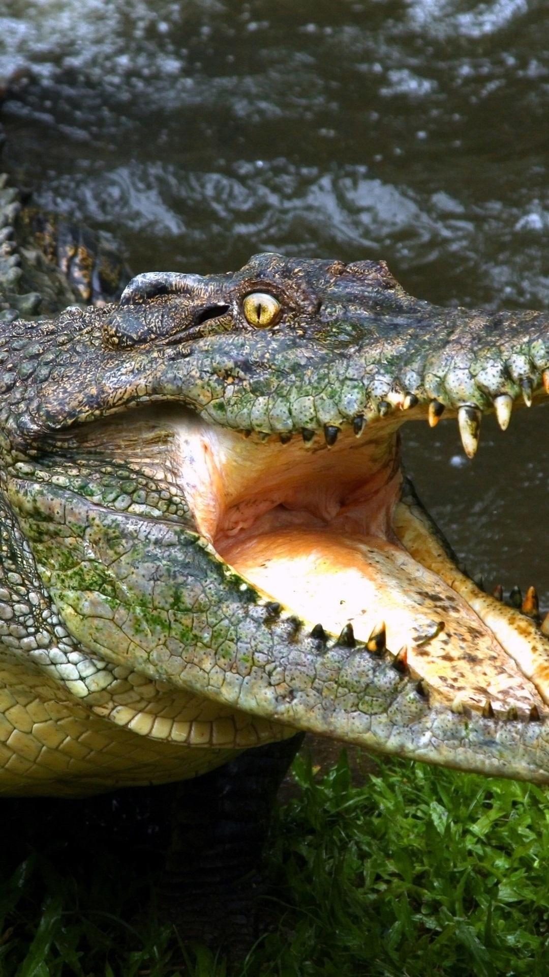 Crocodile Open Mouth Fangs Reptile 1080x1920 Iphone 8 7 6