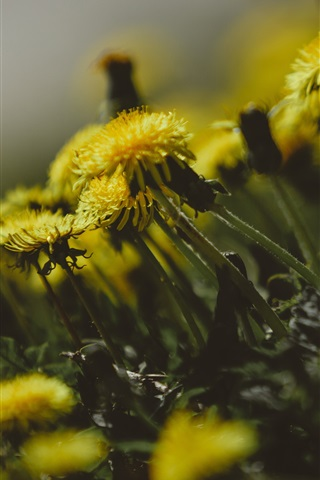 iPhone Wallpaper Dandelions flowers, yellow petals, blurry